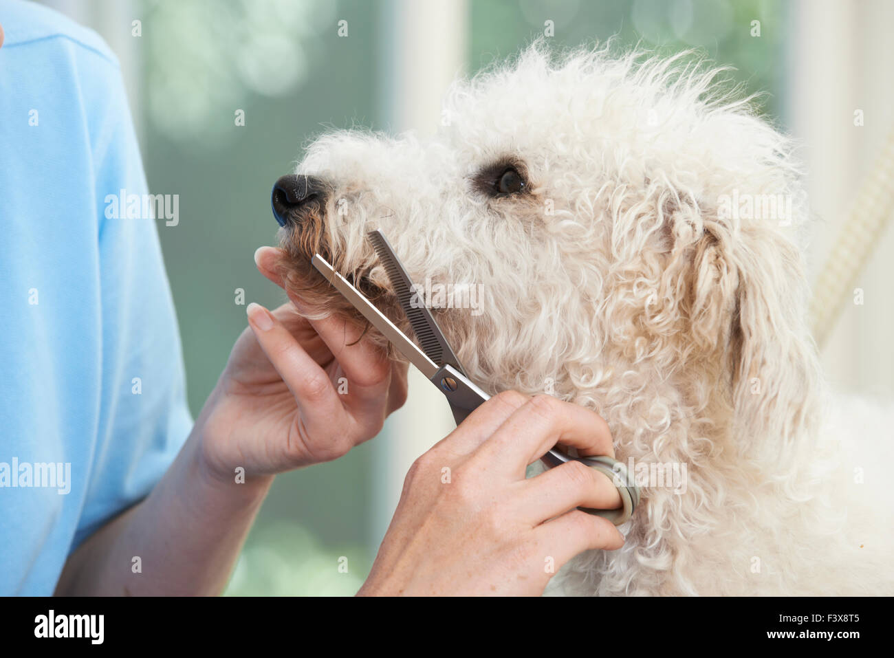 Pet Dog Being Professionally Groomed In Salon - Stock Image