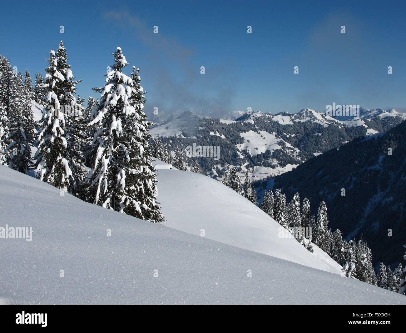 Snow covered spruces - Stock Image