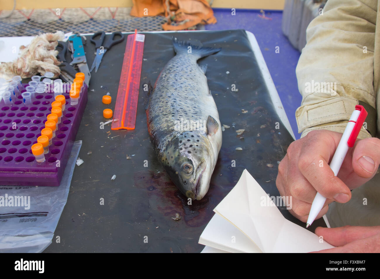 ichthyology of a salmon - Stock Image