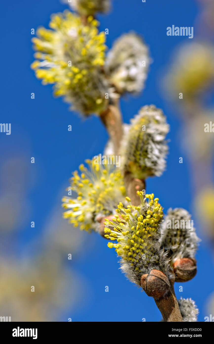 Twig with spring buds - Stock Image