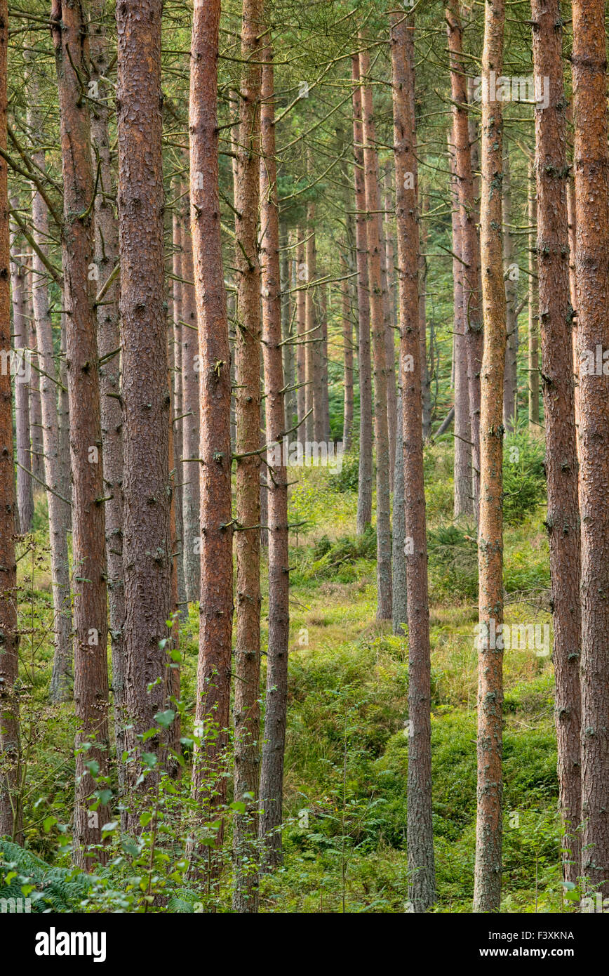 Conifers growing in Simonside Forest near Rothbury, Northumberland, England Stock Photo