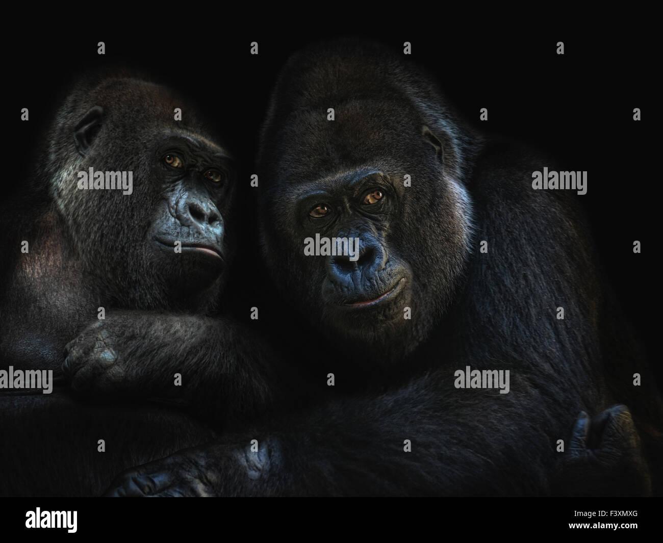 gorillas in love - Stock Image