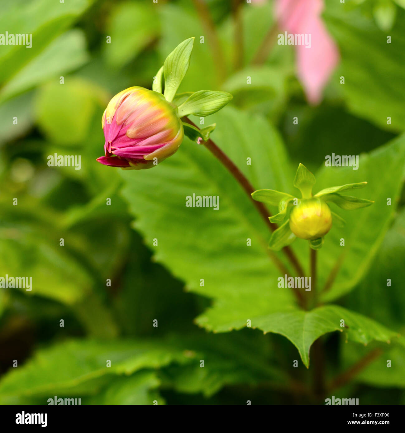 An Unopened Dahlia Flower In The Spring - Stock Image