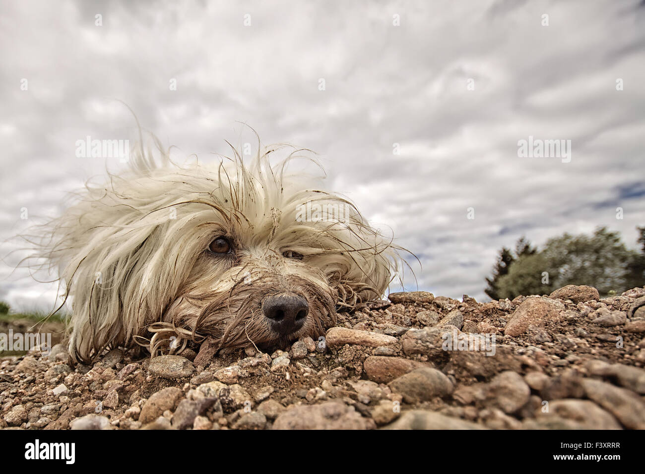 Dirty Dog Stock Photo 88485259 Alamy