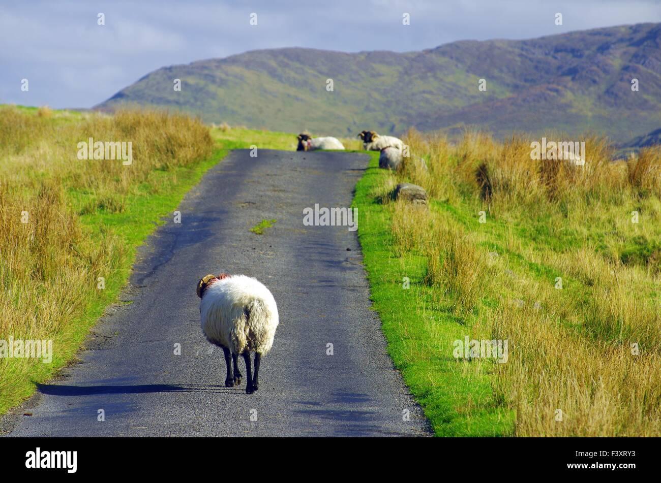 Rush hour in western ireland - Stock Image
