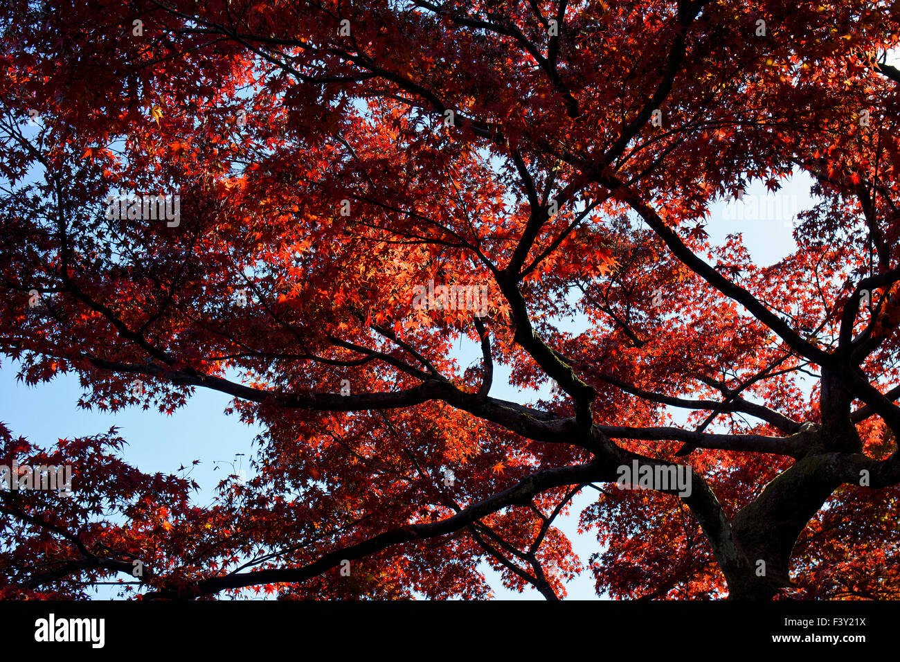 Japan, Honshu island, Kansai, Kyoto, maple in autumn. Stock Photo