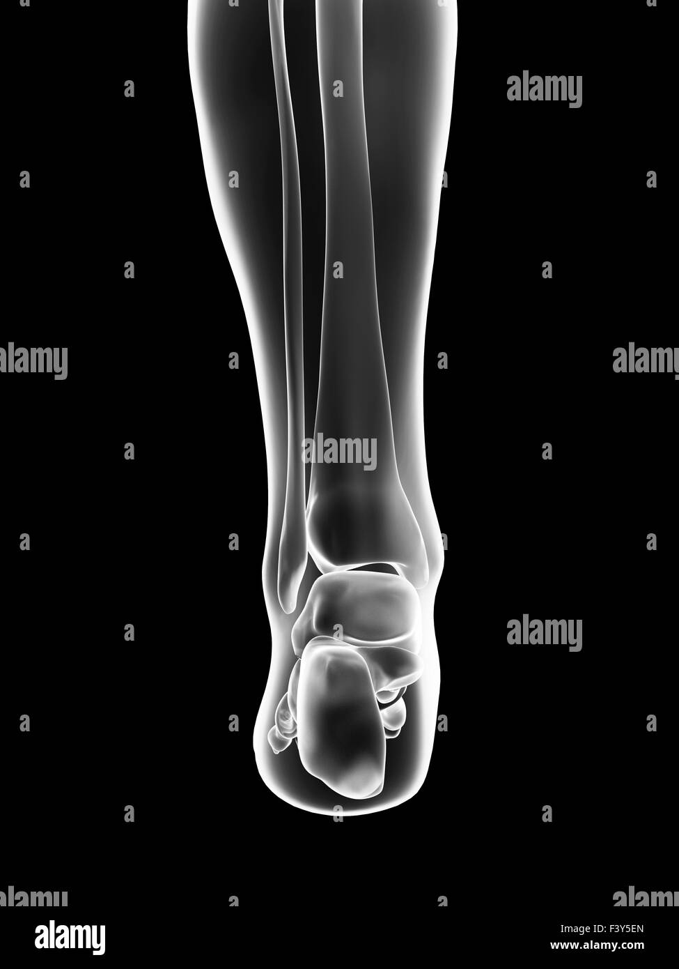Ankle Bones Healthy Stock Photos Ankle Bones Healthy Stock Images