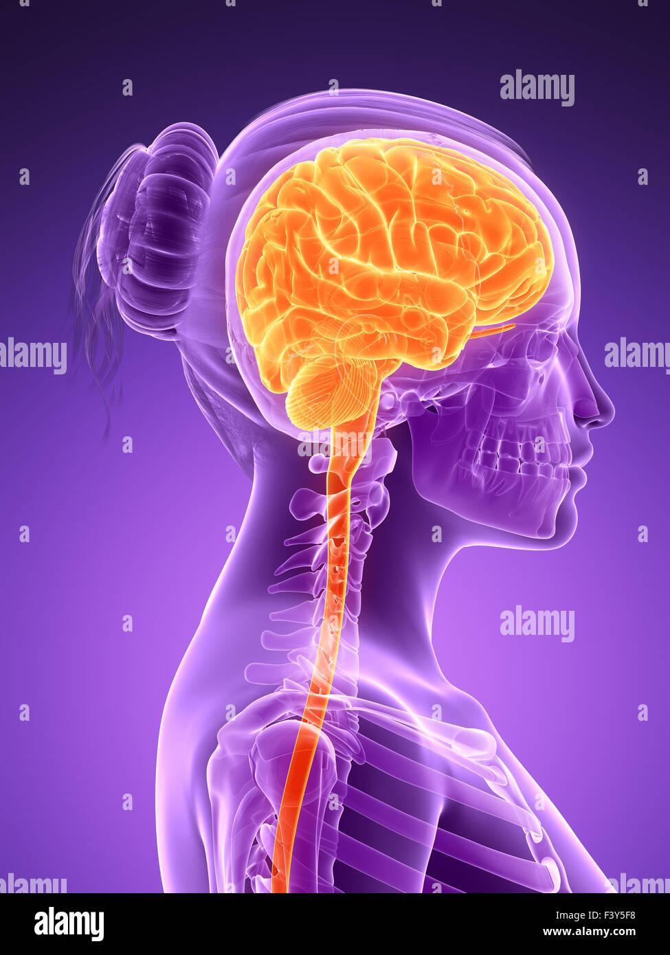 3d rendered illustration - female brain - Stock Image