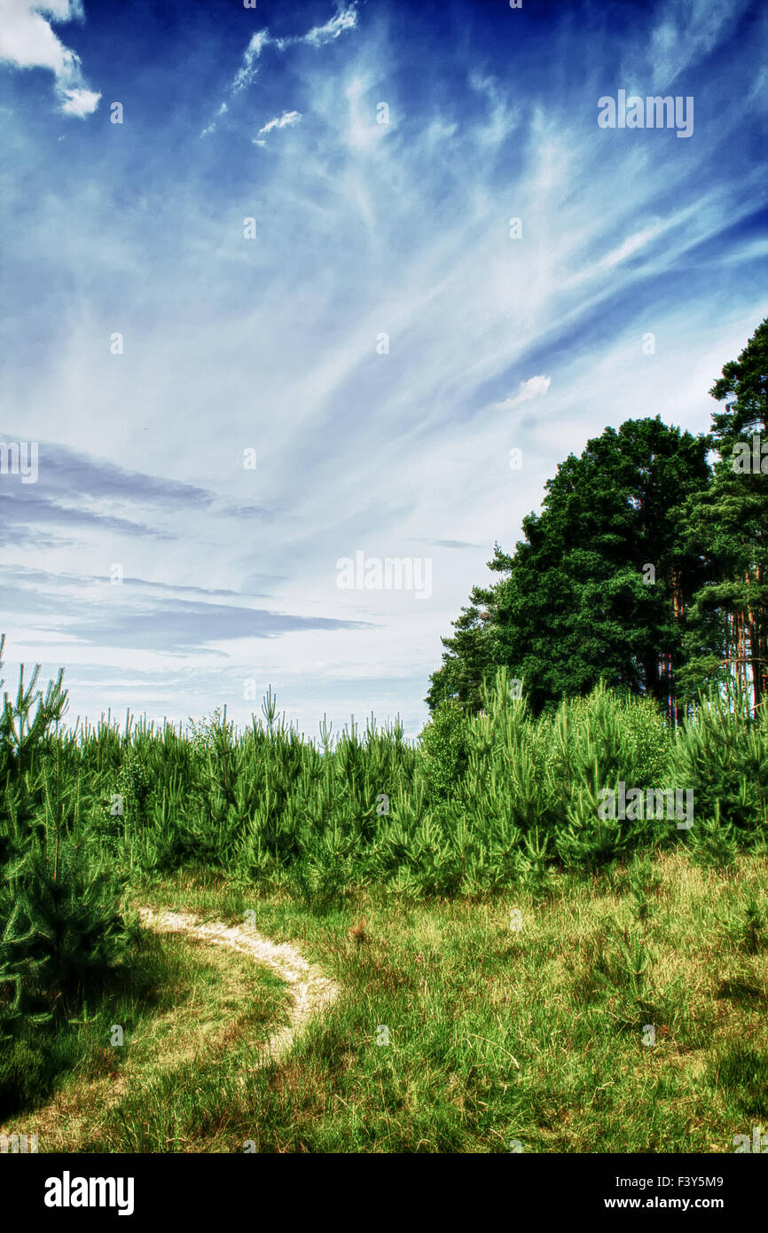 small conifers - Stock Image