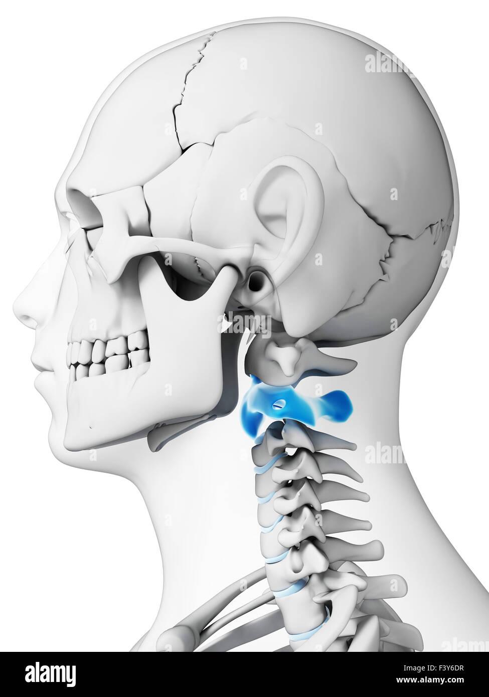 3d rendered illustration - axis vertebrae - Stock Image