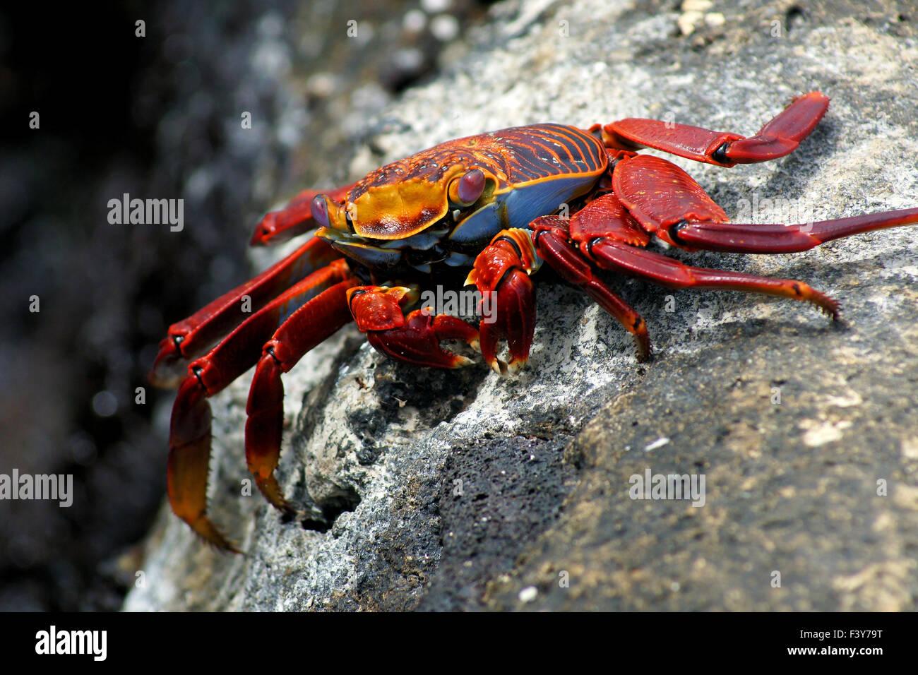sally-lightfood-crap on a rock, Galapagos - Stock Image