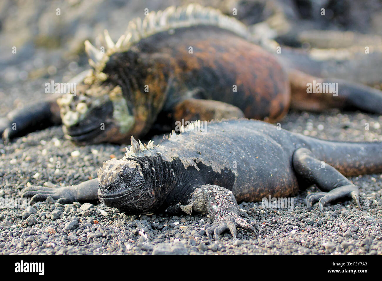 male and female sea-iguana, Galapagos - Stock Image