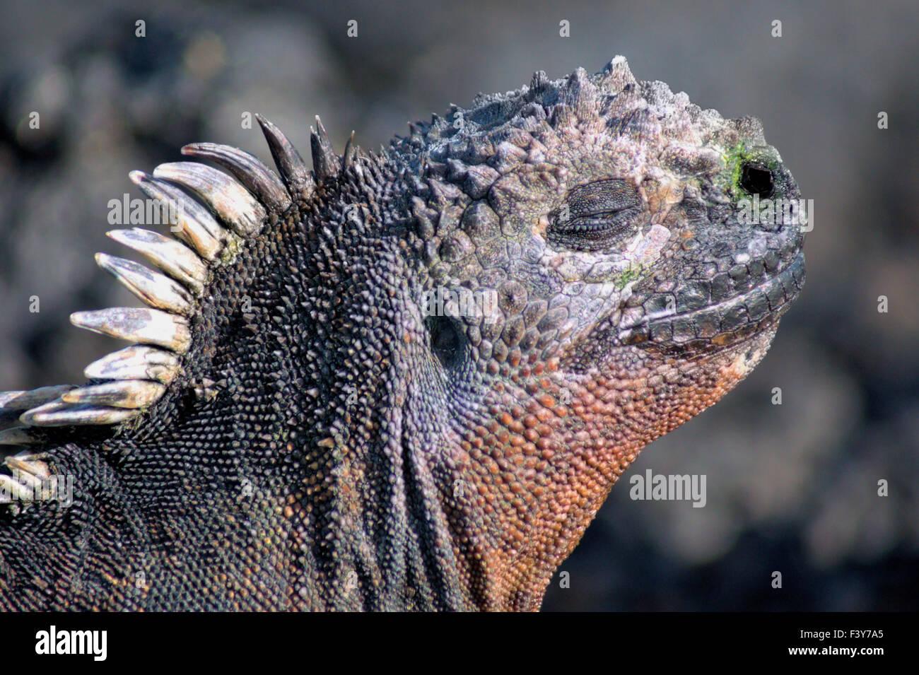 head of a sea-iguana, Galapagos - Stock Image