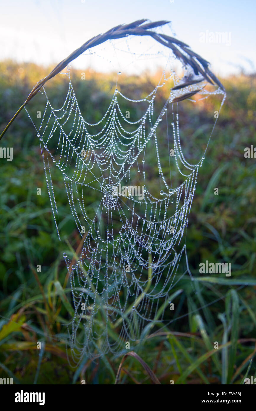 web of a spider on sunshine on a meadow - Stock Image