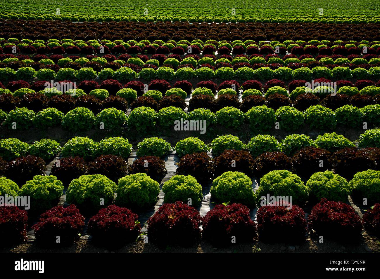 lettuce field - Stock Image