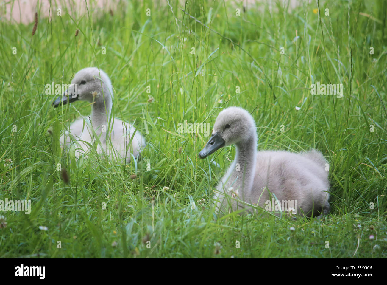 young cygnets Stock Photo