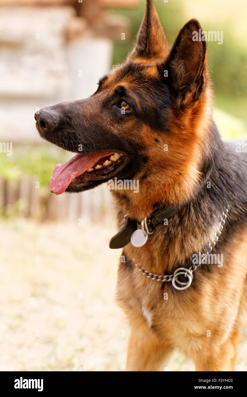 Photo of a friendly German shepherd dog - Stock Image