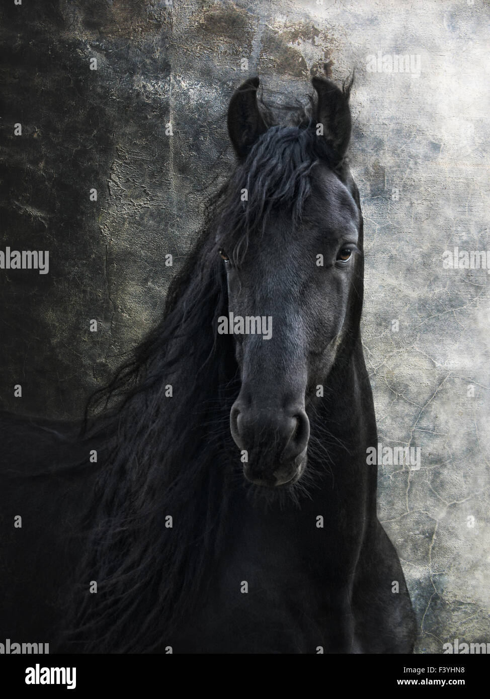 young frisian stallion - Stock Image