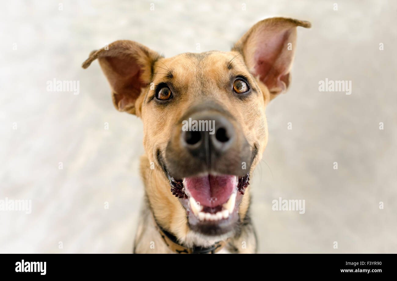Happy Dog Is A Funny German Shepherd Looking Up And Flashing A Great