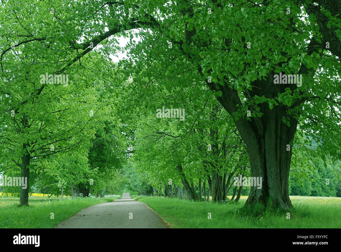 lime tree avenue Stock Photo