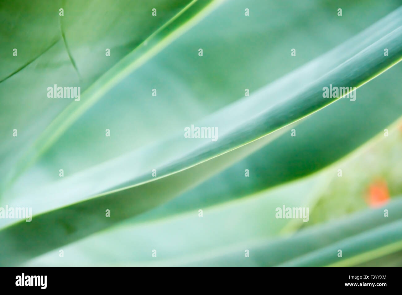 Abstract leaves Agave attenuata - Stock Image