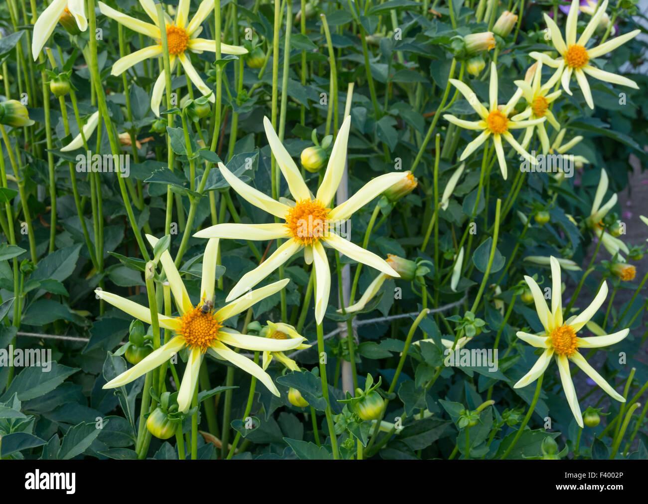 Yellow Star Like Dahlia Flowers Stock Photo 88510542 Alamy