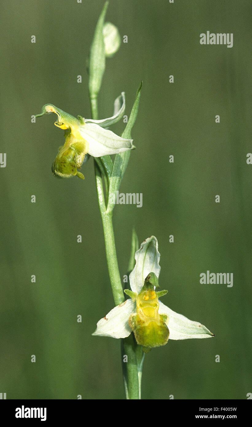 orchid Ophrys apifera varietaet - Stock Image