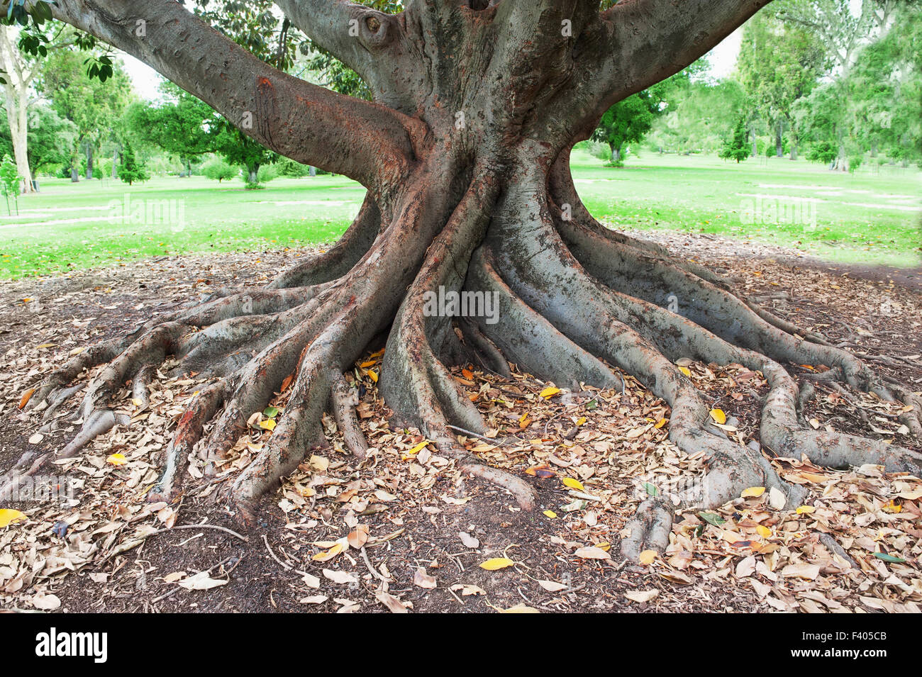 big tree roots - Stock Image