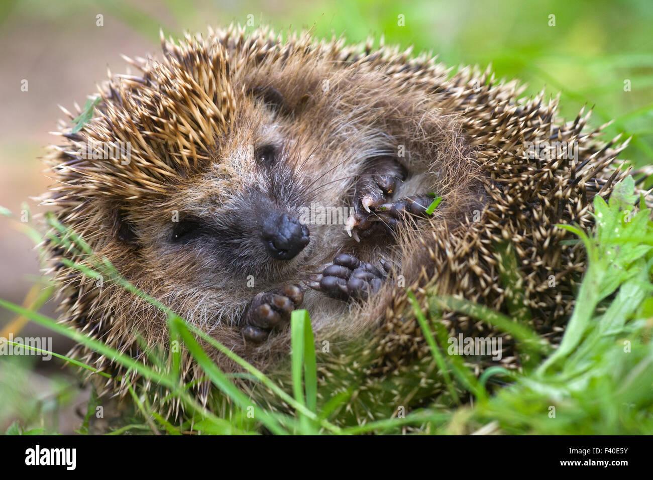 hedgehog curled  and sleeps ant awakes him - Stock Image