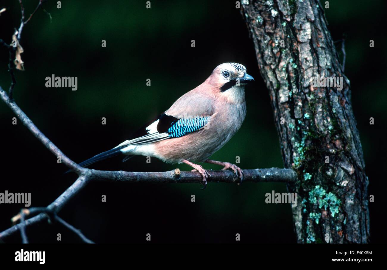 jay; songbird; Stock Photo
