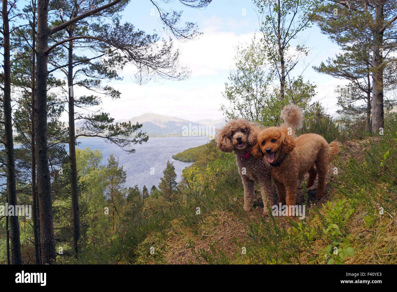 View of Loch Lomond from Conic Hill with Toy and Mini Poodles at the top of the hill happily looking at the camera - Stock Image