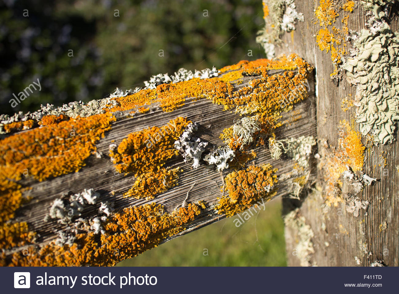 Thick colorful lichens on a wooden fencepost, with horizontal rail seen extending diagonally from the side. - Stock Image