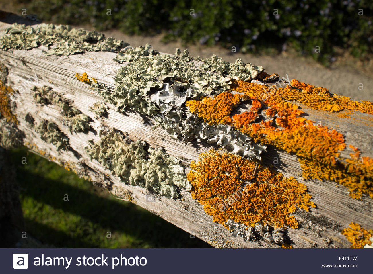 Thick colorful lichens on a wooden fence, featuring a horizontal upper rail. The lichens are green and orange - Stock Image