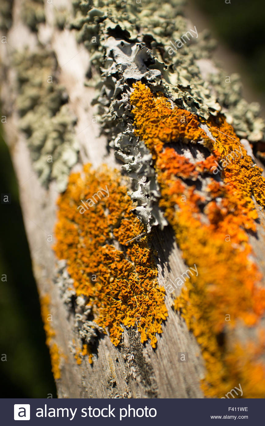Thick colorful lichens on a wooden fence, with upper fencepost running from the camera perspective to background. - Stock Image