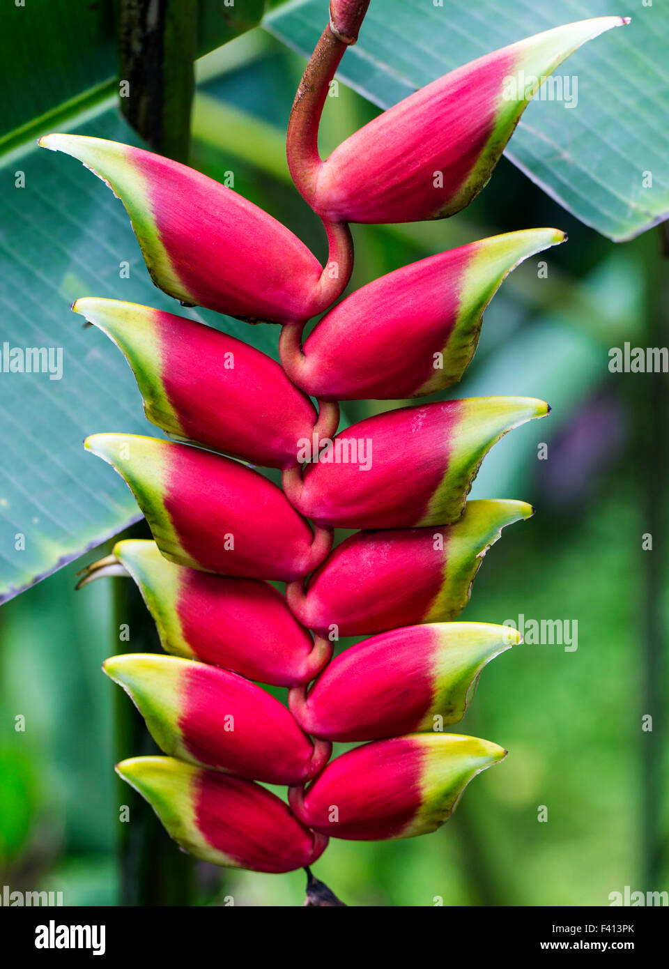 Wildflower, Hanging Lobster Claw, Heliconia Rostrata, Heliconiaceae, Hawai'i Tropical Botanical Garden Nature - Stock Image
