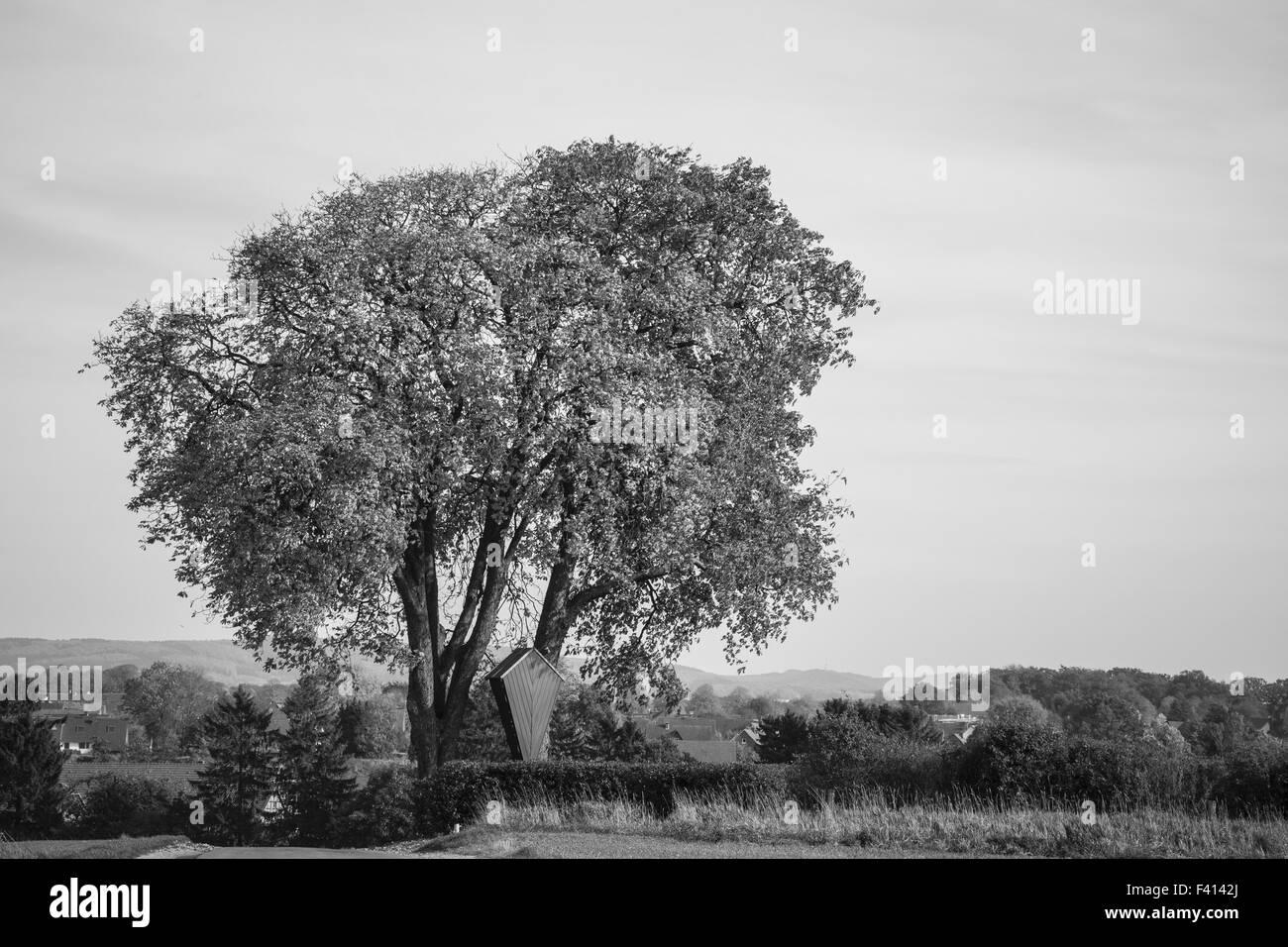 Horse chestnut tree, Aesculus hippocastanum - Stock Image