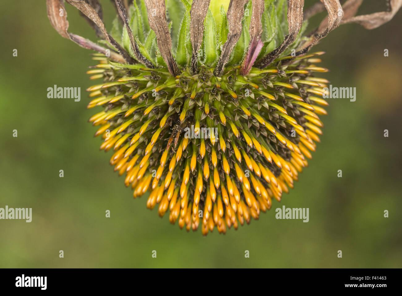 Echinacea purpurea, Eastern purple coneflower - Stock Image