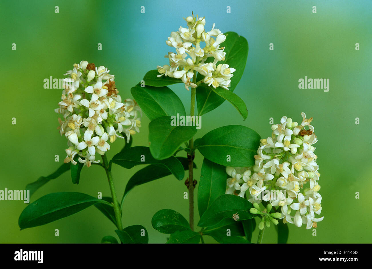 blossom; shrub; Ligustrum; Stock Photo