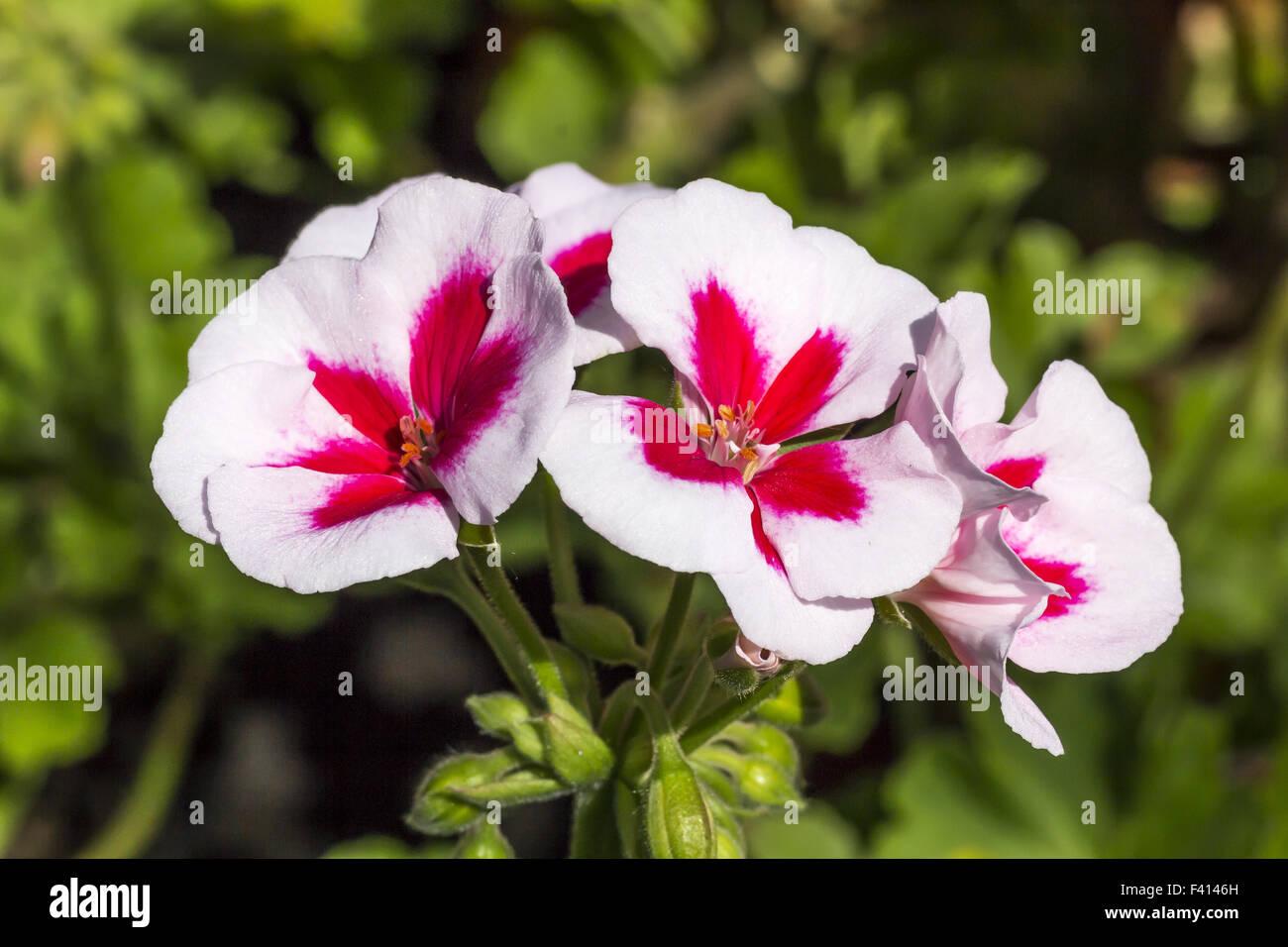 Pelargonium Zonale hybrid flower Stock Photo