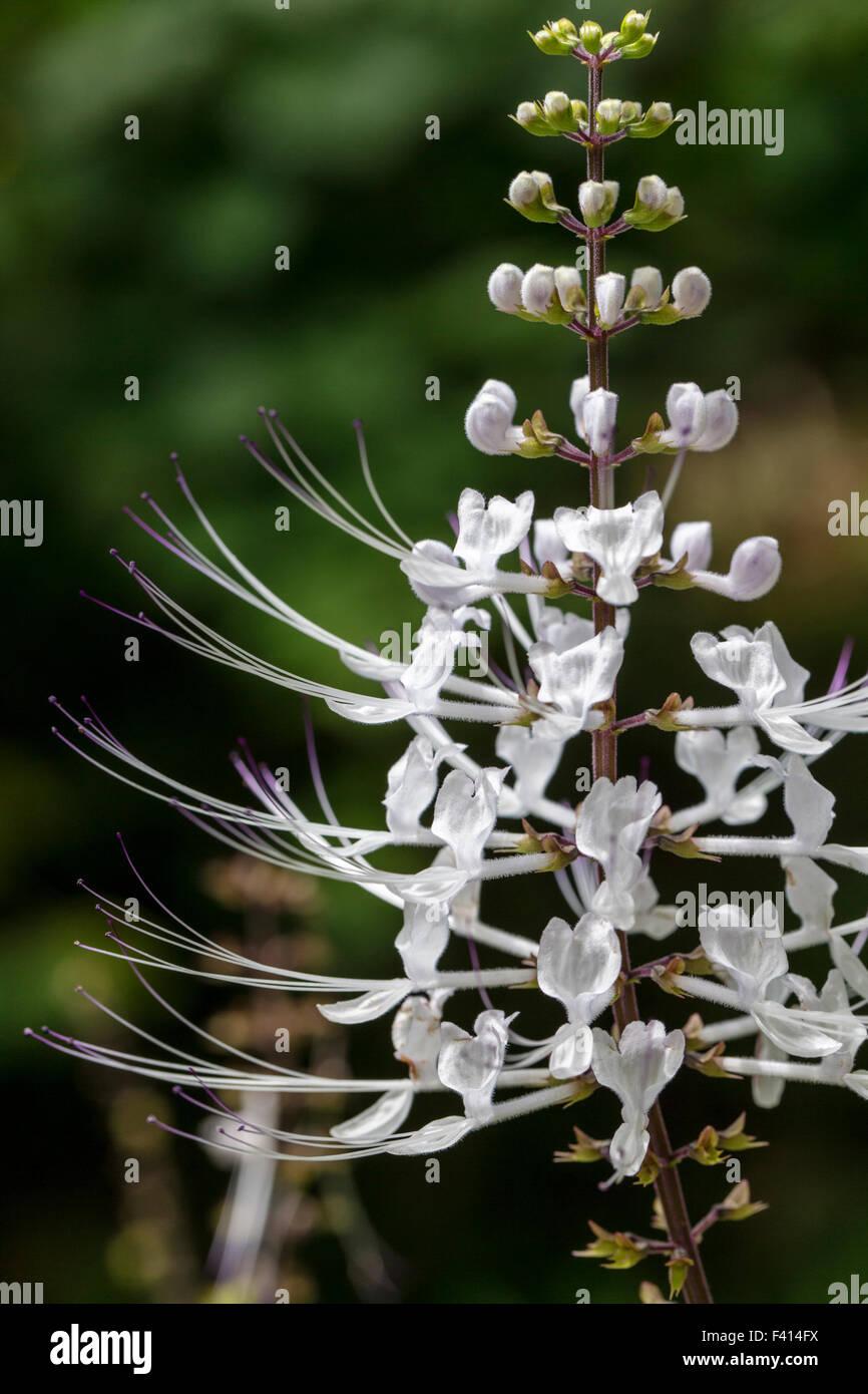 Cat's Whiskers; Java Tea; Orthosiphon Aristatus; Var. Aristatus Lamiaceae; Hawai'i Tropical Botanical Garden - Stock Image