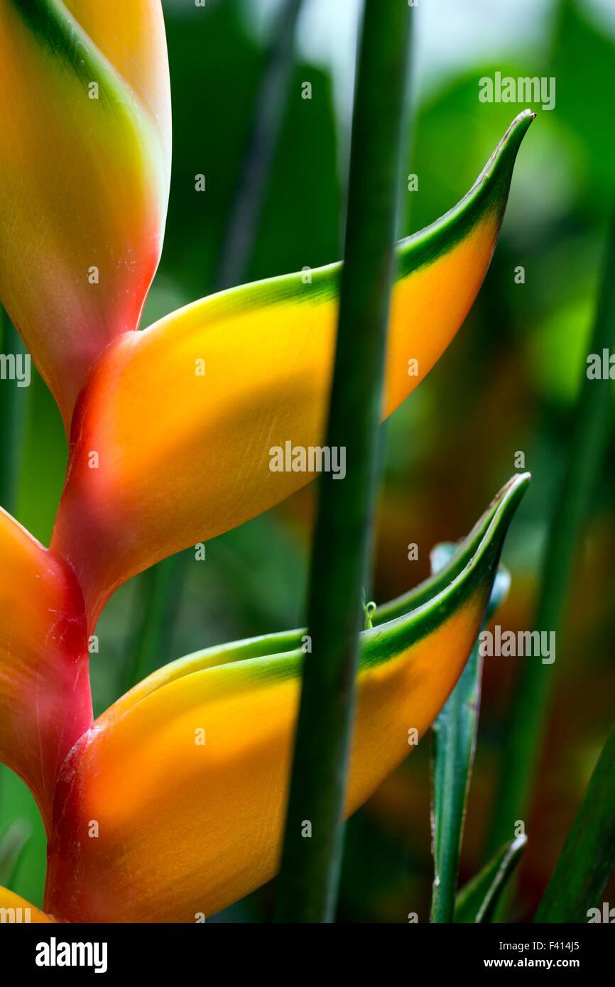 Heliconia bihai 'Peachy Pink'; Hawai'i Tropical Botanical Garden Nature Preserve; Big Island, Hawaii, - Stock Image