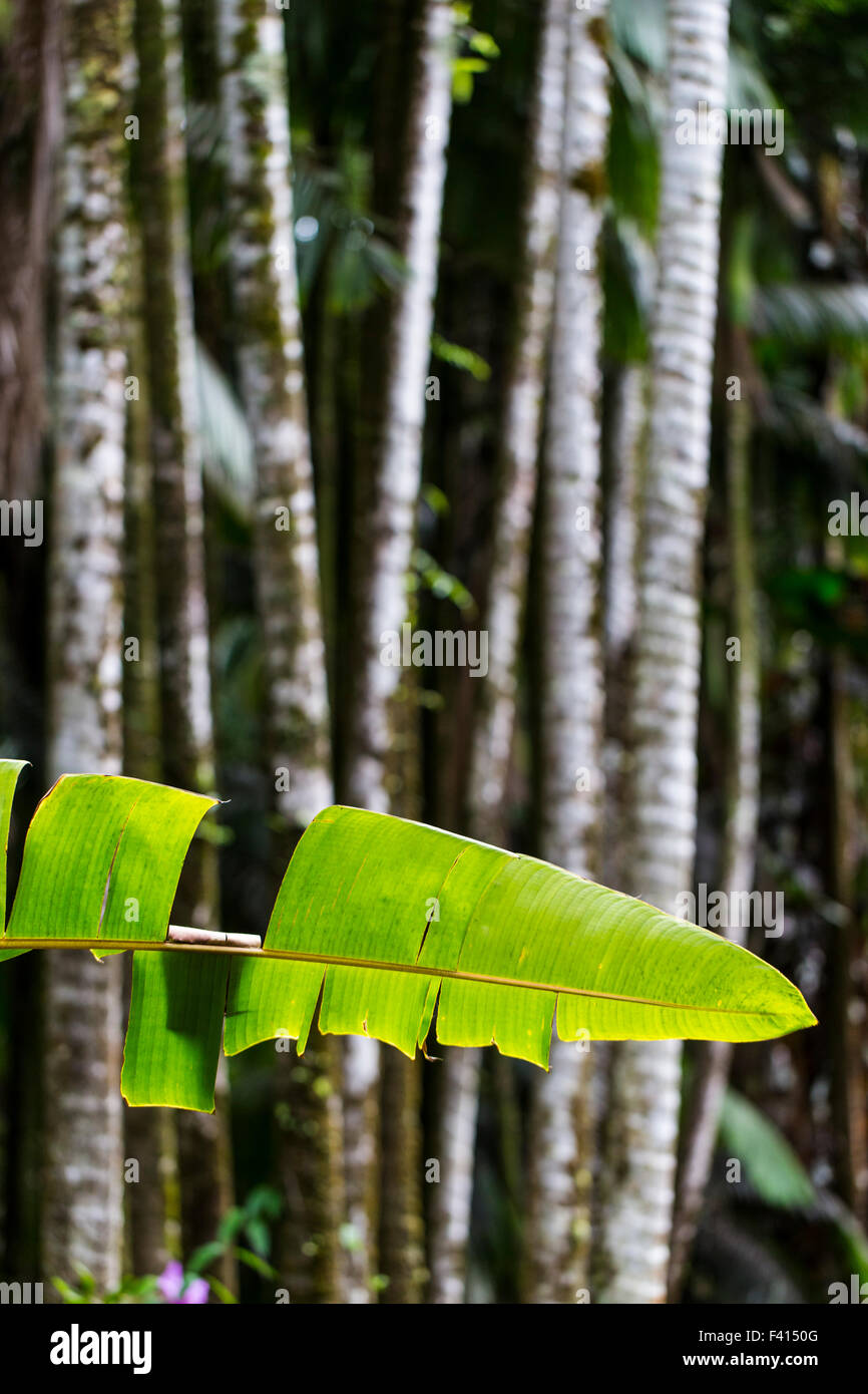 Alexandra Palm; King Palm; Hilo Palm; Archontophoenix alexandrae; Hawai'i Tropical Botanical Garden Nature Preserve; - Stock Image