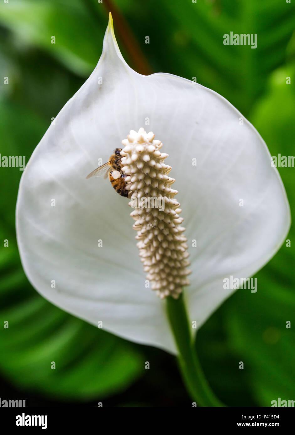 Honeybee (Apis mellifera) on a Peace lily; spathe flower; Araceae; Spathiphyllum sp.; Hawai'i Tropical Botanical - Stock Image