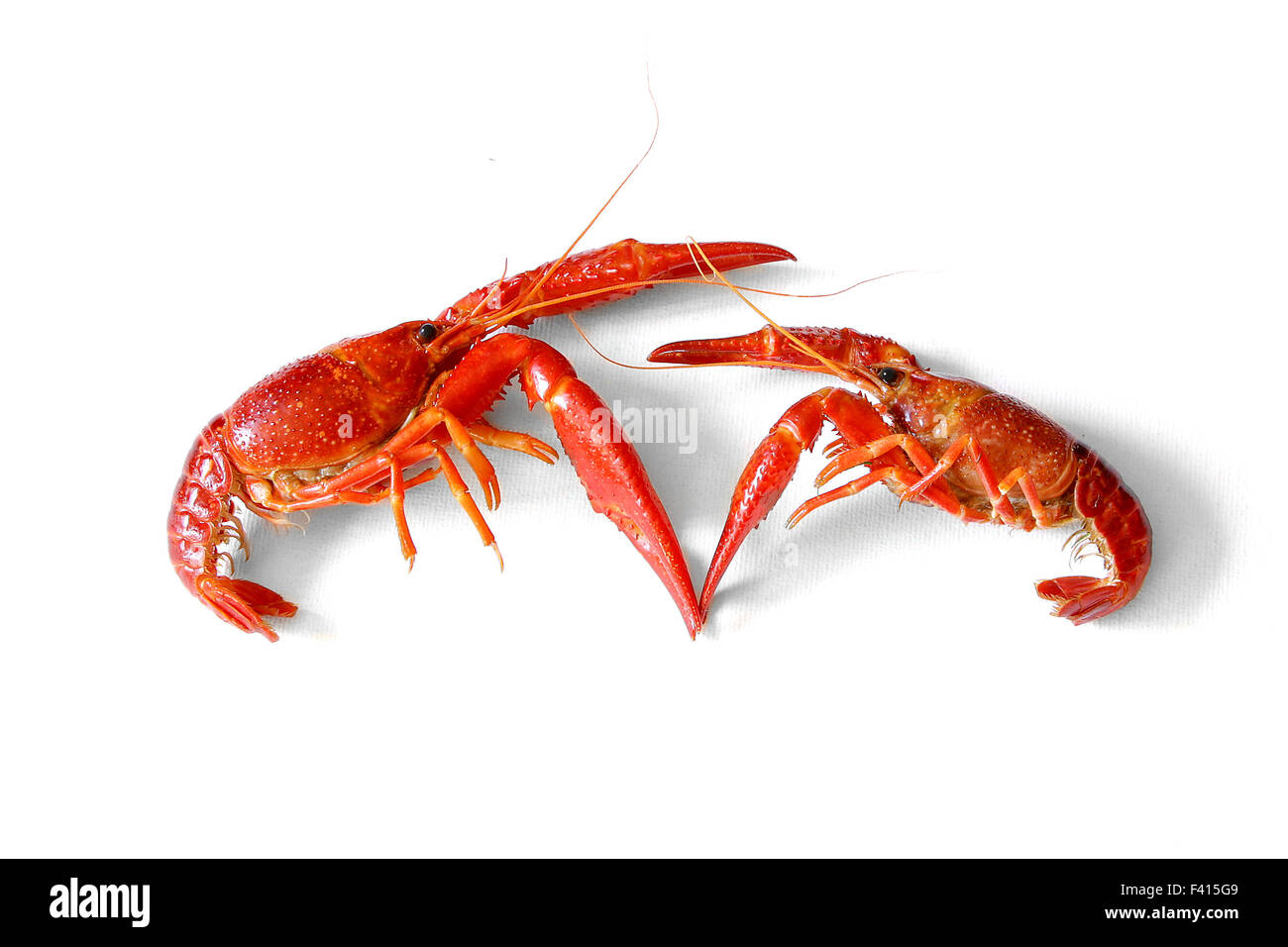 fighting two freshwater crayfish red european on white background
