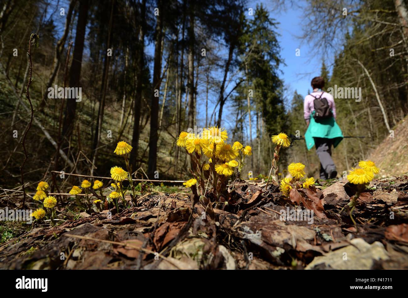 coltsfoot; walk; spring walk; wander; hike; Stock Photo