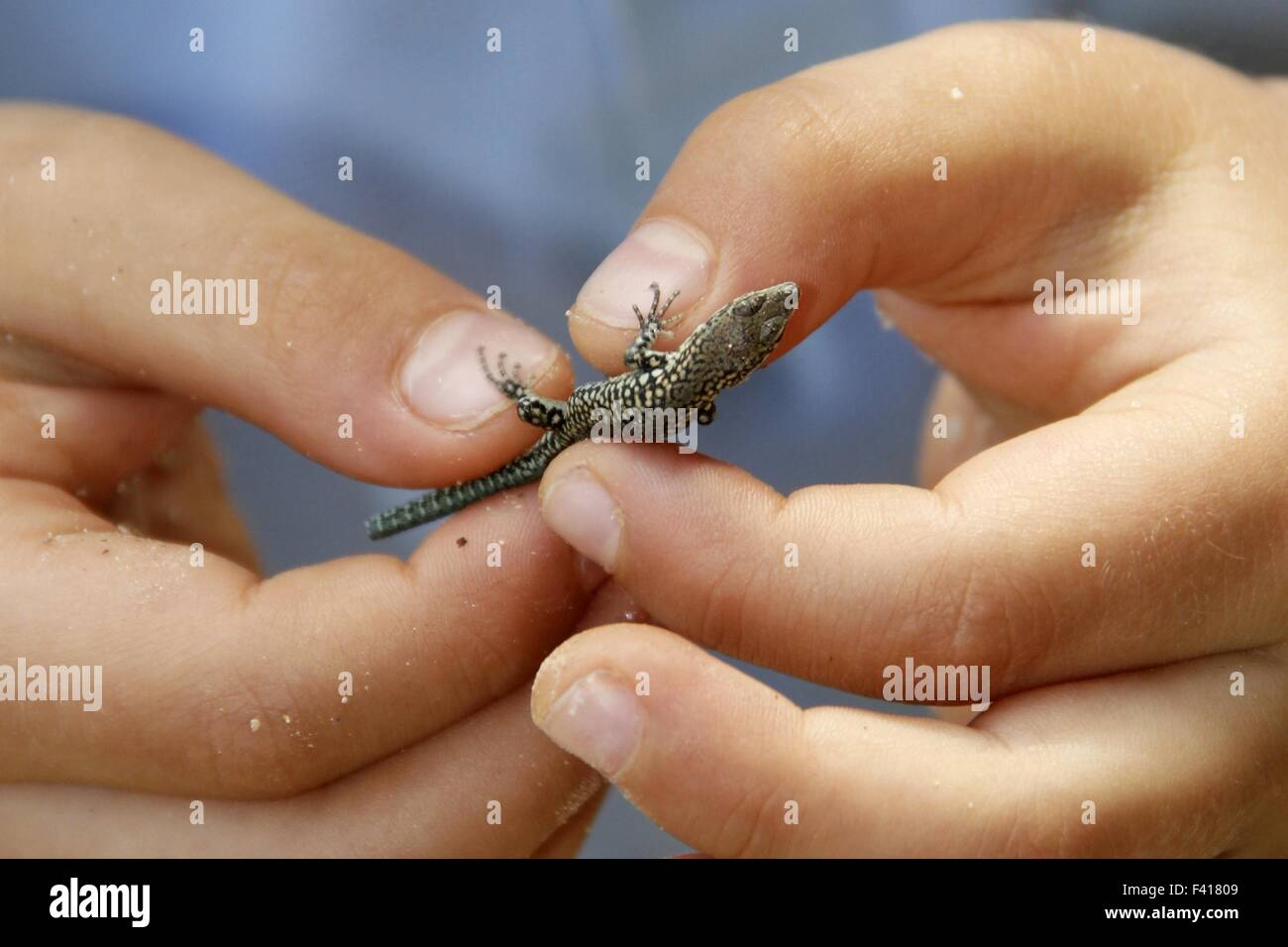 Little frightened lizard in two child hands - Stock Image