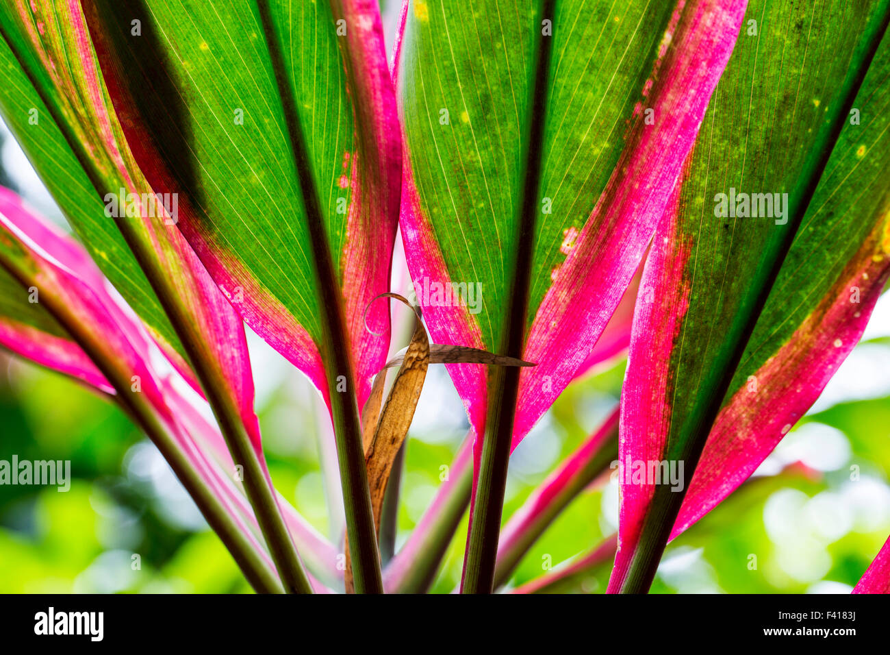 Cordyline fruiticosa 'Baby Doll'; Ti plant; Hawai'i Tropical Botanical Garden Nature Preserve; Big Island, - Stock Image