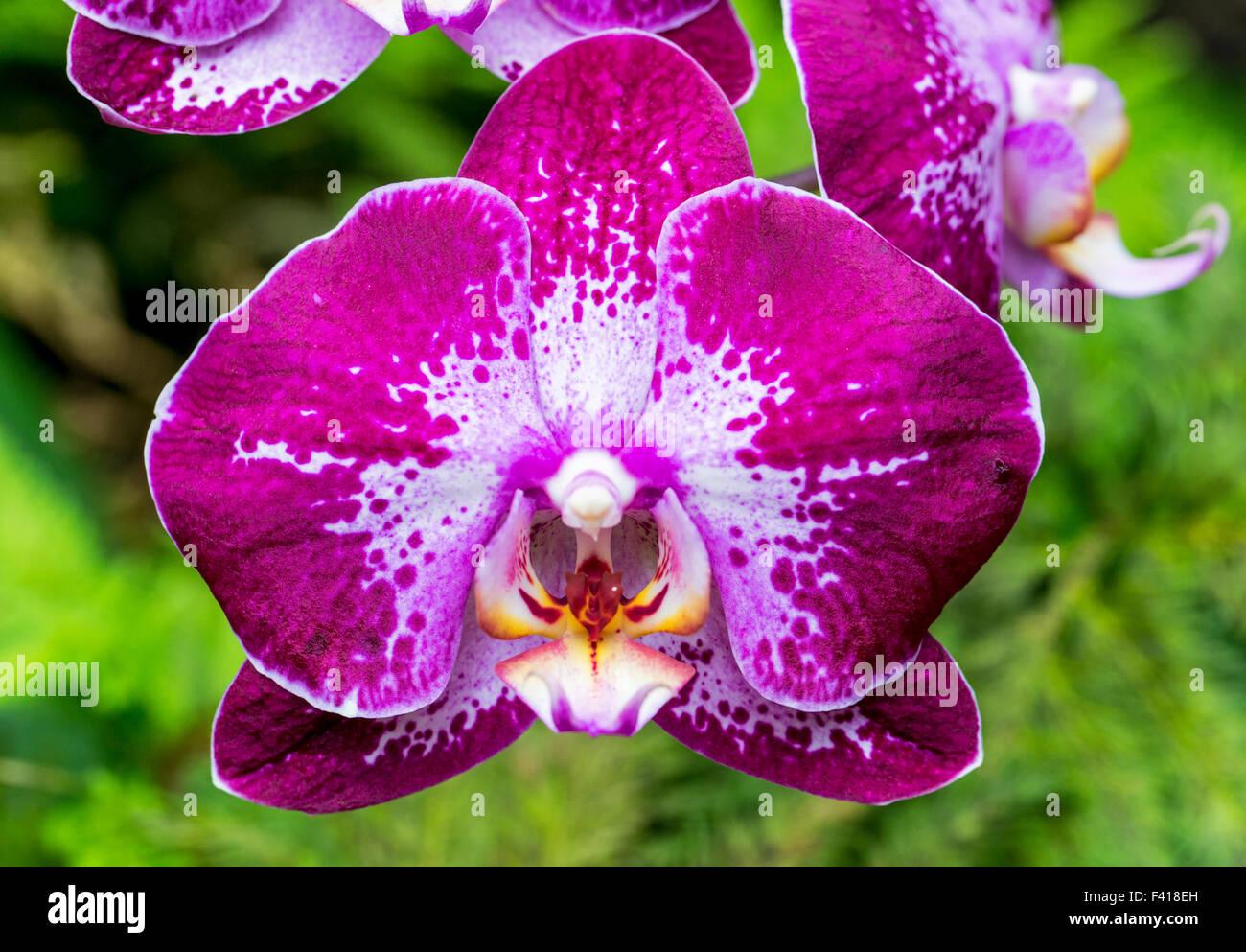 Orchid; Orchidaceae; Hawai'i Tropical Botanical Garden Nature Preserve; Big Island, Hawaii, USA - Stock Image