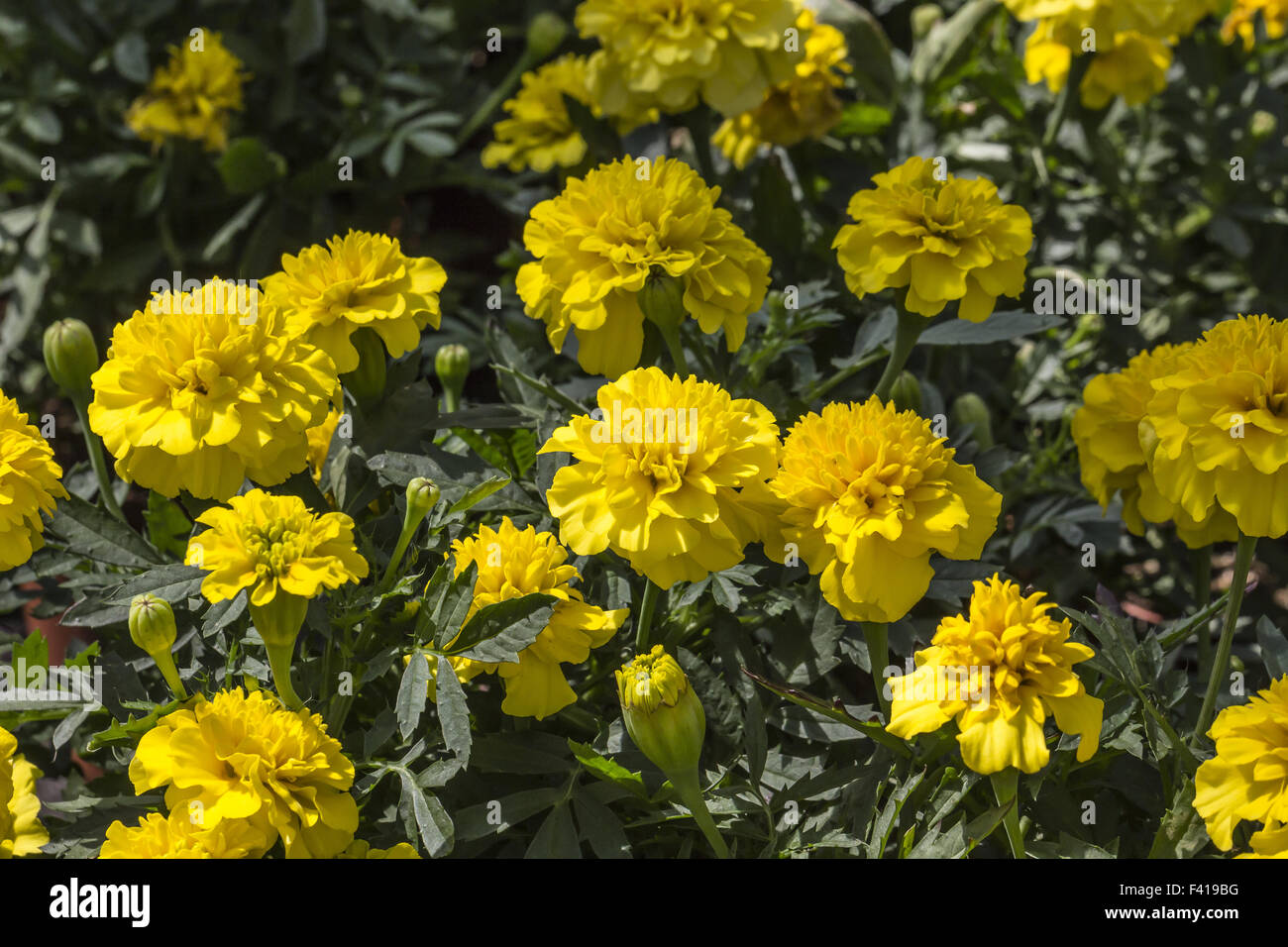 Marigold Tagetes tenuifolia Mexican Mix Flower Seeds  from Ukraine