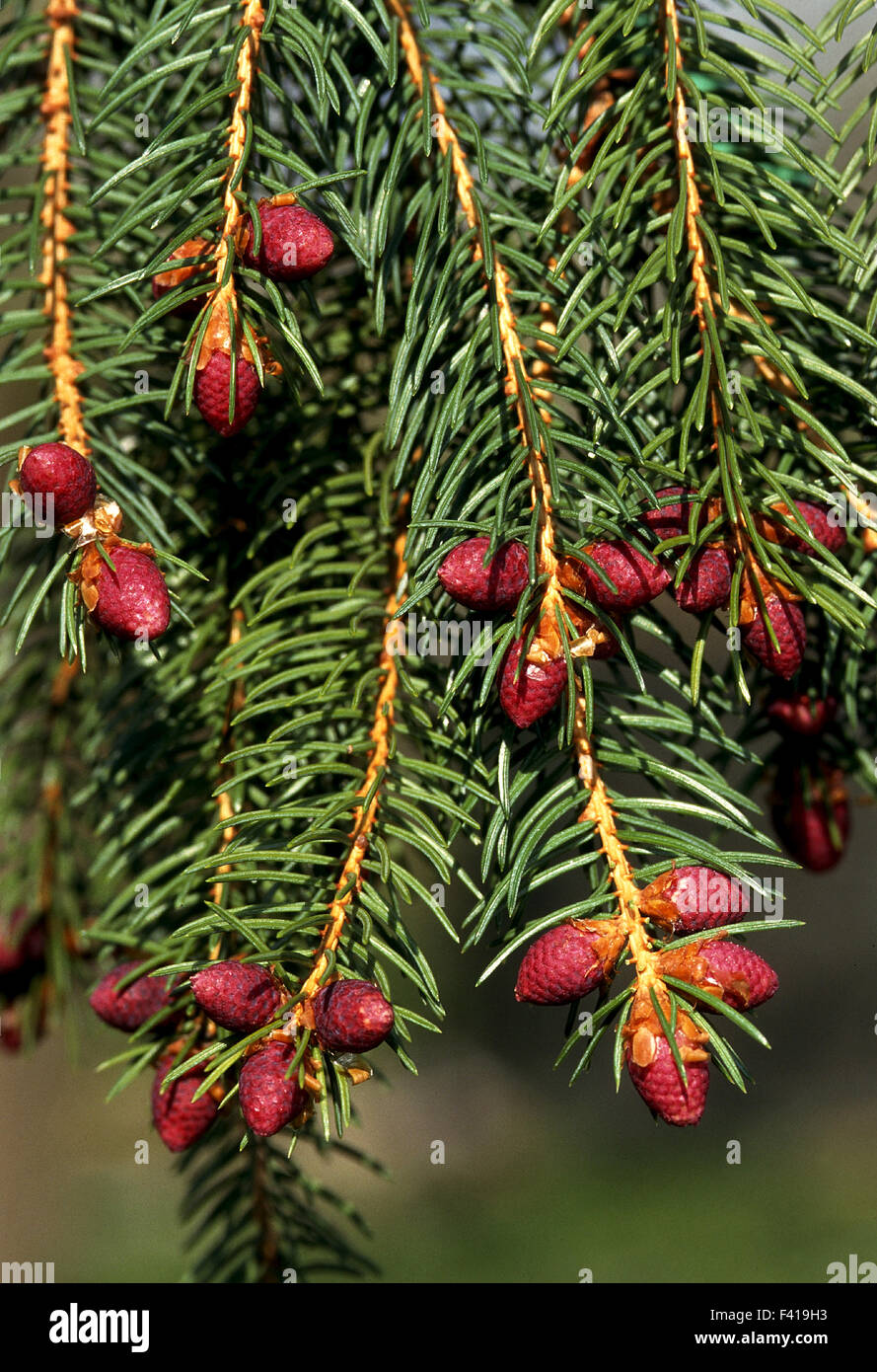 spruce; blossom; conifer; - Stock Image